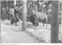 Historic photo from 1908 - Buffalo in High Park zoo along Deer Pen road in High Park