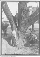 Historic photo from 1910 - Toronto's oldest tree being cut down? (Seems unlikely considering size of 350-400 year old tree in the Annex) in Parkdale