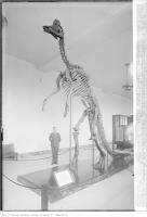 Historic photo from Tuesday, June 13, 1933 - Dinosaur skeleton: Corythosaurus intermedius in Royal Ontario Museum