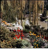 Historic photo from 1967 - Colour photograph of the tulips in bloom by the river and bridge. in Edward Gardens