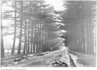 Historic photo from 1906 - Coniferous trees lining a muddy Glengrove Ave. in Lytton Park