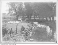 Historic photo from 1919 - Ducks in the stream at Donalda Farms in Don Mills in Don Mills